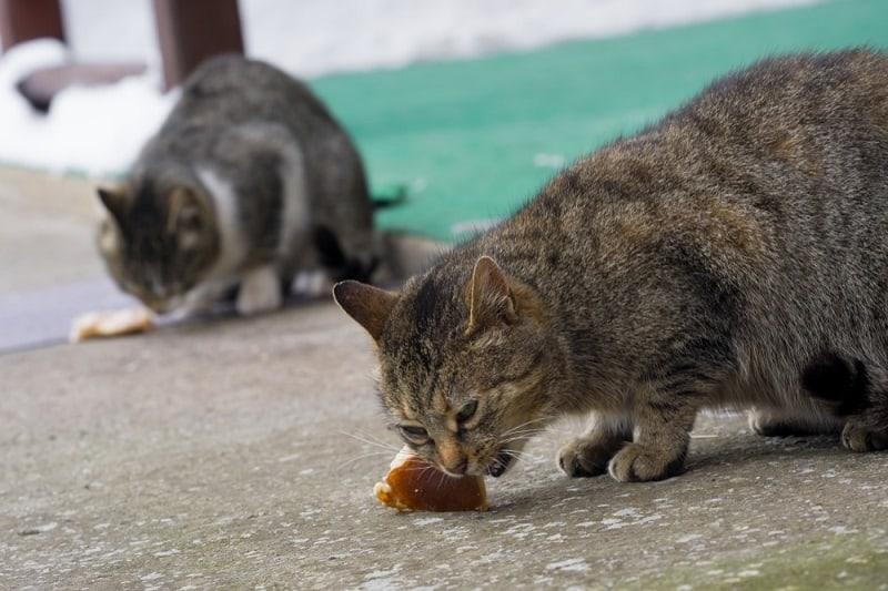 can cats eat turkey bacon