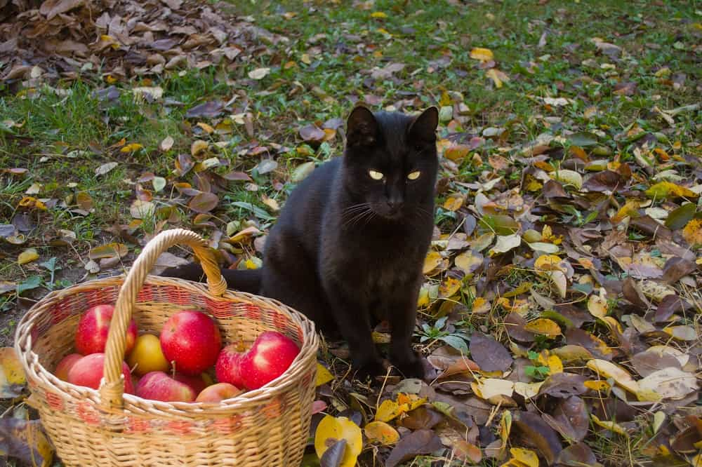 Can Cats Eat Apples