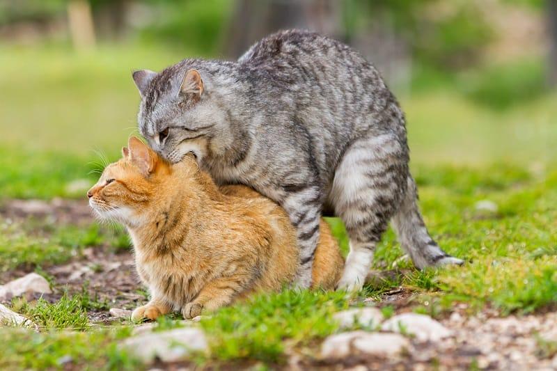 How Often Do Cats Go Into Heat