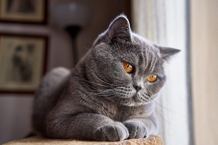 Flat-Faced-Cat-British-Shorthair