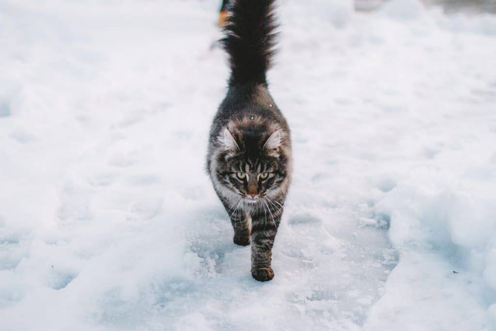 how do cats survive extreme cold