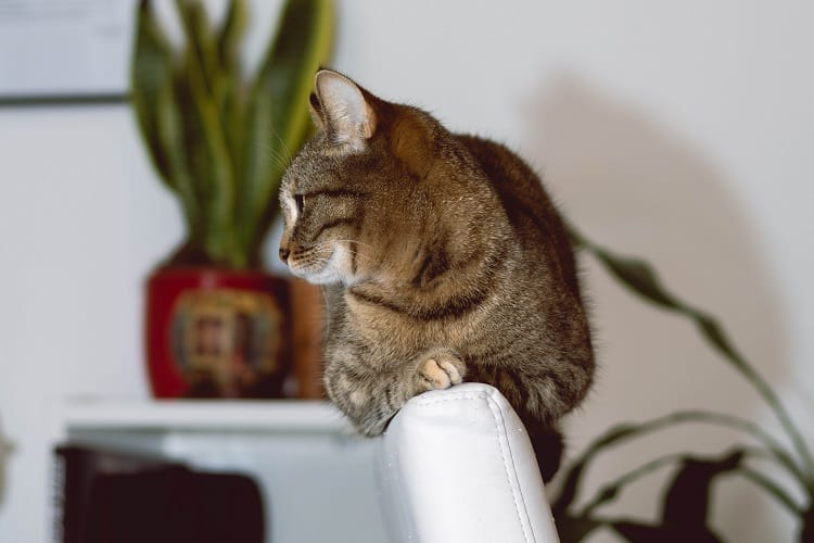 melatonin for cats