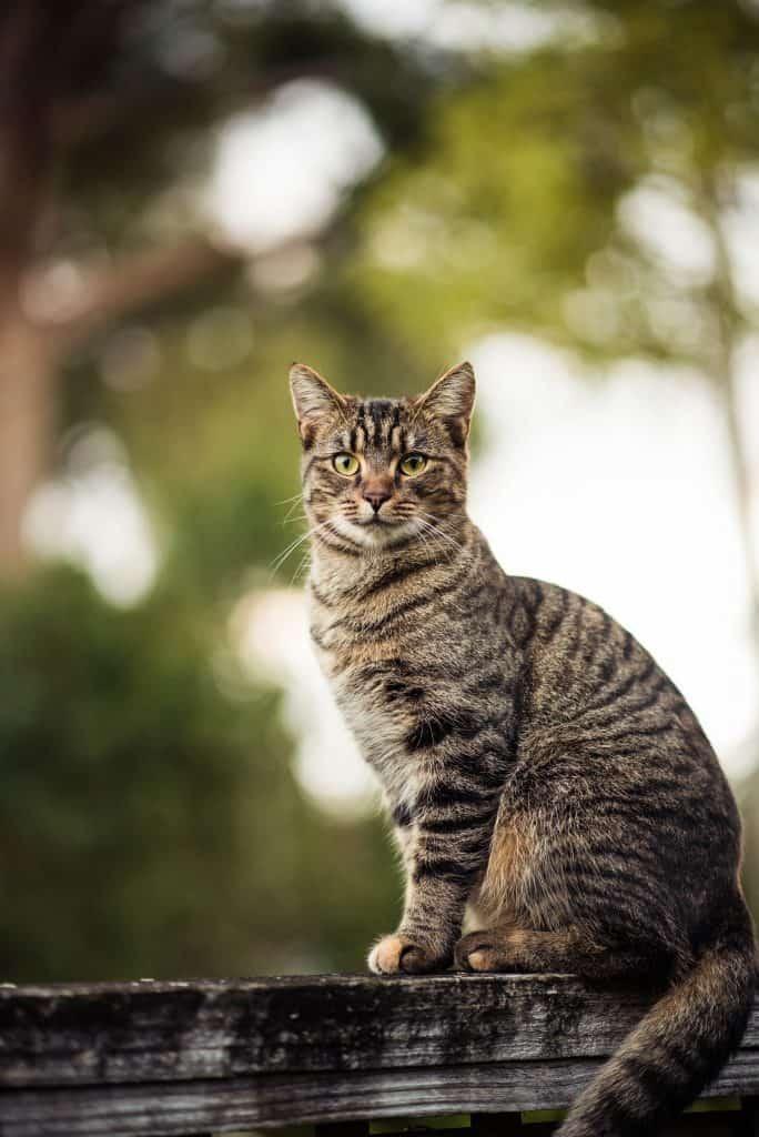 Snowshoe Cat Breed