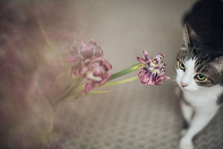 Are Tulips Poisonous for Cats