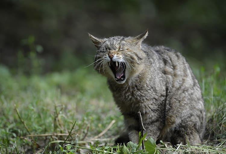 Inflammatory Bowel Disease for Cats