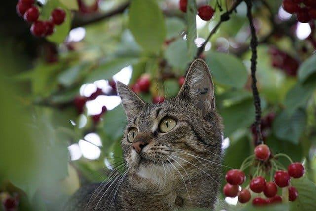 Cat and Cherries