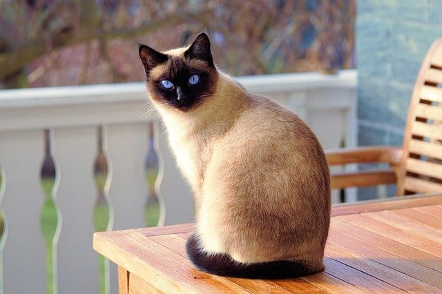 How Long Does a Siamese Cat Live