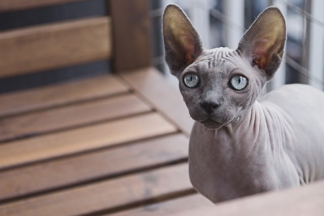 How Much Do Sphynx Cats Cost