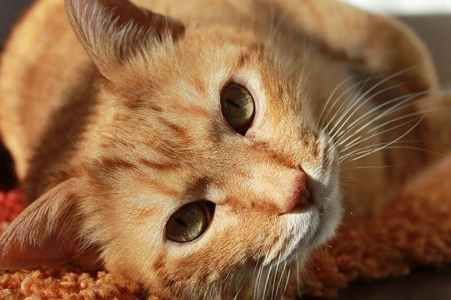 Why Are Orange Tabby Cats So Affectionate